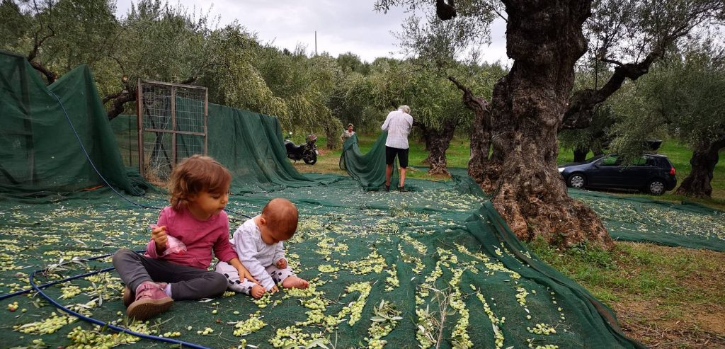 collecting green olives